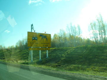 Moose-crossing!-on-the-road-to-Halifax_large