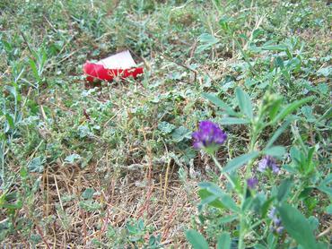 Feral-roadside-alfalfa_large