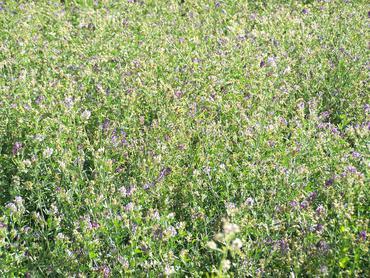 Flowering-alfalfa-plants_large